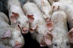 Web Photo  Swine Fever