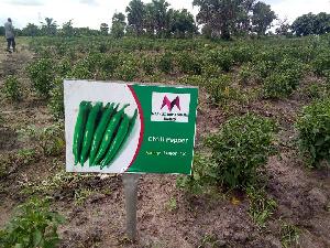 File photo: A chilli pepper farm