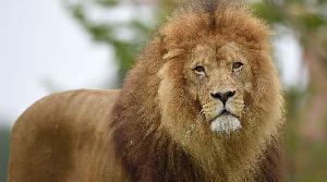 Lion Animal File