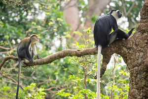 The two communities are home to two monkey species and over one thousand monkeys