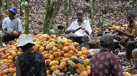 Ghana and Cote D'Ivoire produce the largest cocoa beans in the world