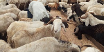 Nigerians have lamented the high cost of ram this year during the Eid celebrations
