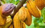 Stakeholders collaborate to address deforestation and boost cocoa production
