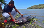 Carcasses of 39 dolphins washed up on shore in Mauritius after the oil spill (Reuters)