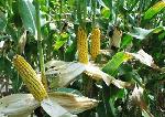 CSIR produces immune boosting maize varieties