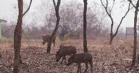 The ban according to Nana Kofi Adu Nsiah will help check the rapid decline of wildlife resources