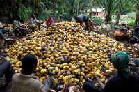 Cocoa farmers working on their farms
