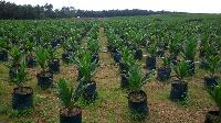 A Palm Oil plantation
