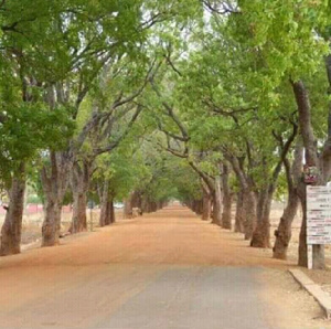 The beautiful trees that line the entrance to Sandema