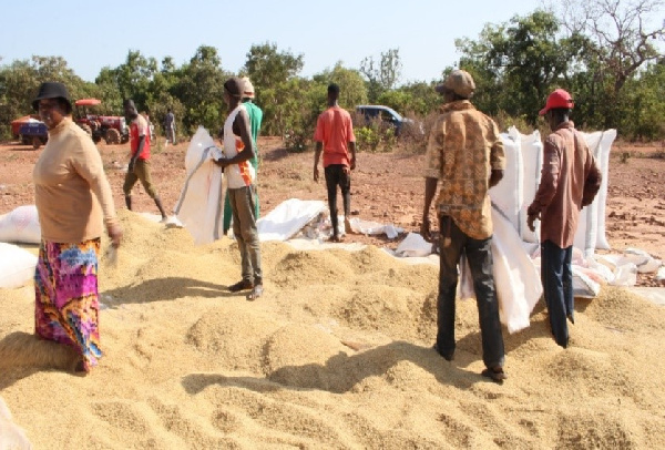 Peasant Farmers call on govt to address rice post-harvest losses