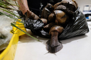 A photo of the snails that were seized by US Customs and Border agents at JFK Airport