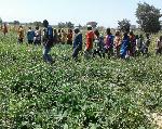 Demonstration trial of improved cowpea varieties underway in Wa