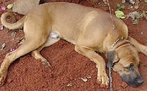Rabies Dog New