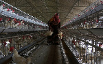 Indian poultry worker carries dead chicken to dispose off at a farm near Hyderabad city