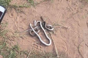 Snakes That Were Killed At The Liberty Profs Stadium