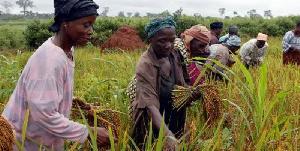 Rice farming in Ghana