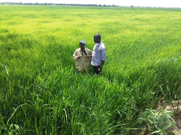 The farmers were forced to abandon their farms due to wild rice infection