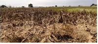 Acres of pineapples and cassava farms destroyed with chemical