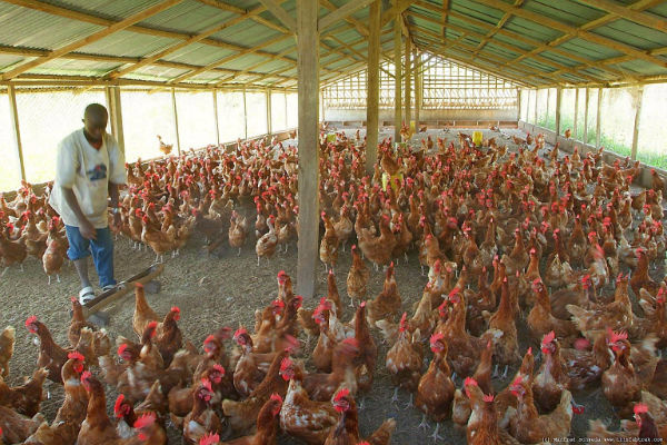 Poultry farmers call on gov't to subsidise cost of feed