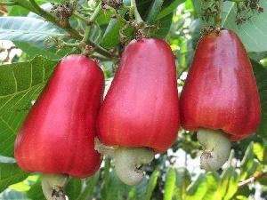 John Mahama promises cashew development board