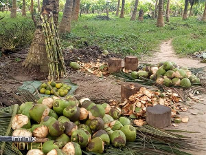 Eric Kwakye Darfour asked chiefs to support the growing of coconuts