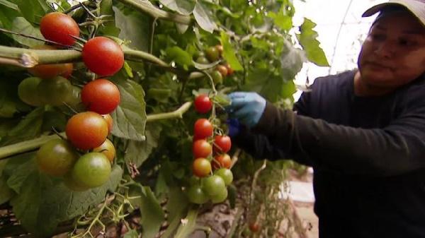 A farmer harvesting his ripe cherry tomatoes