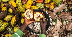A cocoa plantation - File photo