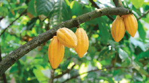 Cocoa 672x375