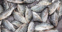 The ban on importation of tilapia is expected to take effect from 1 July to 31 December this year