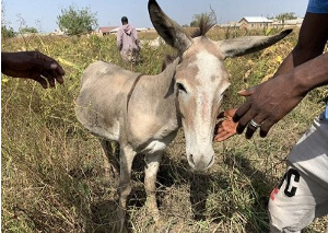 Power the donkey grazes in Walewale. (Danielle Paquette/The Washington Post)