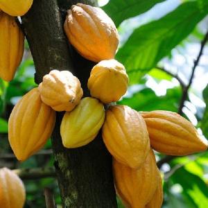 Cocoa Plant Cocobod