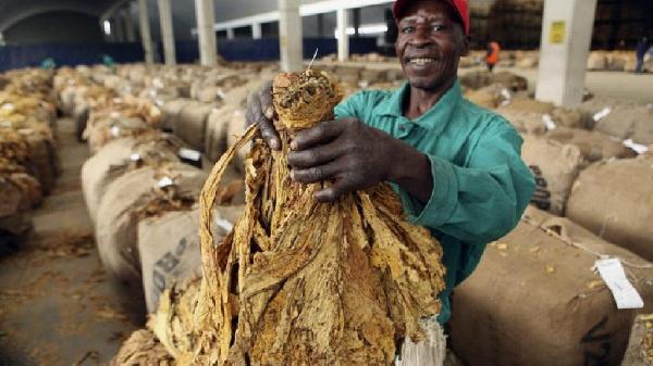 A farmer with his tobacco crop