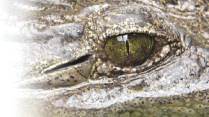 This crocodile has been in Fadama for over 40 years