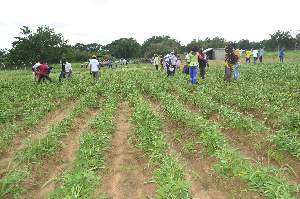 Pest Resistant GMO Cowpea Farm