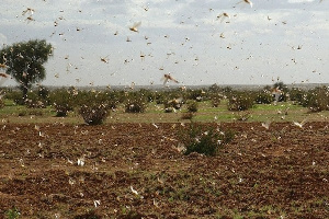 Locusts can cover as much as 150 kilometres (93 miles) a day