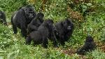 Gorillas are a big draw for tourists in Uganda (BBC)