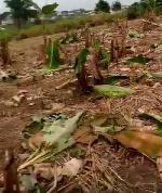 'We'll amputate you' - Osei Tutu WASSCE candidates destroy headteacher's farm over strict invigilation