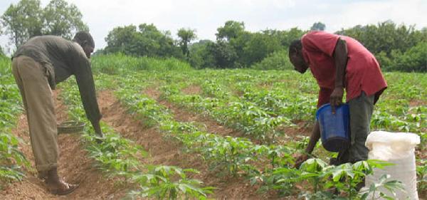 Farmers applying fertilizer to their land
