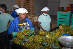More than 20.2 million pineapple suckers have been given to farmers to shore up production