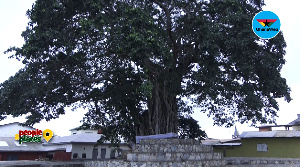 The tree-god; Mpeni Kofi has been worshiped by the Akuapems for ages