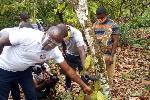 COCOBOD embarks upon massive rehabilitation of Moribund Cocoa farms