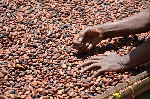 Cocoa farmers in top grower Ivory Coast are optimistic about the upcoming mid-crop harvest