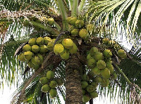 File photo: Coconuts on a tree