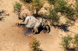 A dead elephant is seen in this undated handout image in Okavango Delta, Botswana