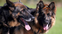 German Shepherds are often used as sniffer dogs