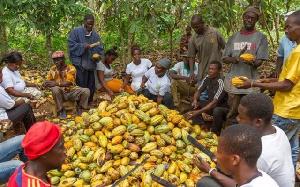 File photo: Cocoa farmers