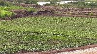 660 acres of land have been cleared for the cultivation of Orange Flesh Sweet Potato