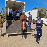 Injured horses are receiving treatment by the Port Elizabeth Anti Animal Cruelty