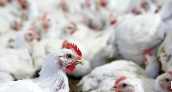 Some 1,500 birds to be culled on Denu farm as Ministry races to contain spread of bird flu