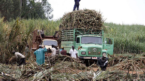 A photo of a sugar cane farm